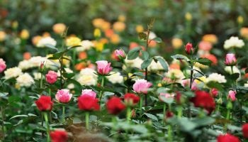 Top 10 Flower Growing And Exporting Companies In Kenya