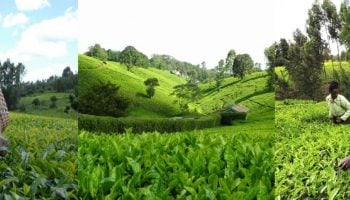 Top 10 Major Tea Growing Regions In Kenya