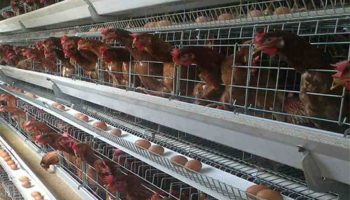 List Of Best Poultry Companies In Kenya