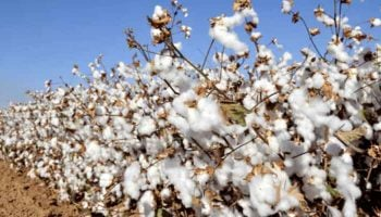 List Of Cotton Growing Areas In Kenya