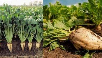 Sugar Beet Farming In Kenya