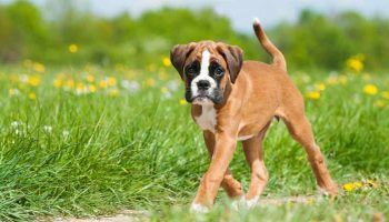 What Is A Boxer Dog?